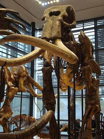 Bones from a mammoth